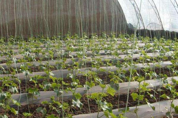 鹤首葫芦的种植方法