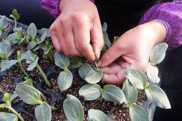 嫁接西瓜苗种植技术
