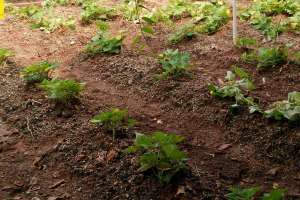 春红薯种植时间