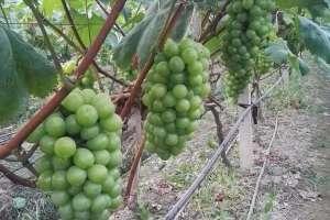 醉金香葡萄种植技术
