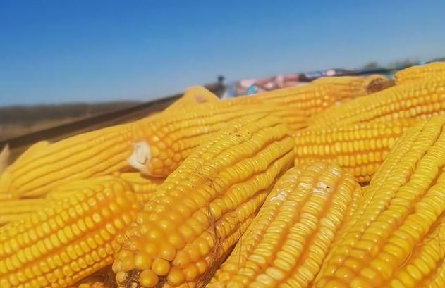 2021年4月6日全国玉米深加工企业今日价格行情