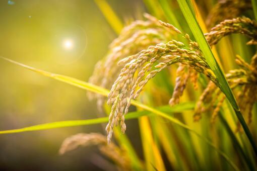 海水稻大米-摄图网