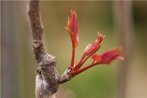 香椿芽苗菜种植技术-摄图网