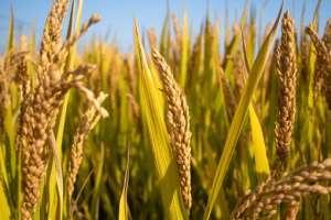 海水稻大米多少钱一斤?和五常大米哪个好吃?