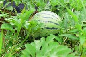 西瓜种植方法!