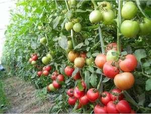 番茄高产种植,这三个关键点一定要掌握!