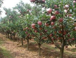 为什么春初苹果树刮皮好处多?