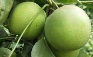 种植什么梨品种市场前景好效益高?