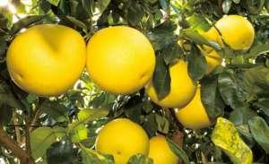 柚子树苗价格多少钱一棵,柚子种植一亩利润是多少?