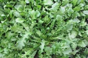 荠菜怎么种植,亩产效益是多少?