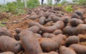 紫色马铃薯收购价格多少钱一斤,亩产效益是多少?