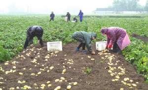 马铃薯种植新技术,提早一个月上市,亩增产两成达2159.5公斤!