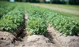 马铃薯施用锌肥技术
