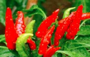 辣椒可跟什么农作物混种?