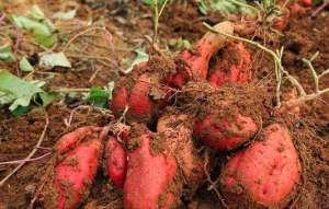 红薯的虫害有哪些?应当怎样防治?