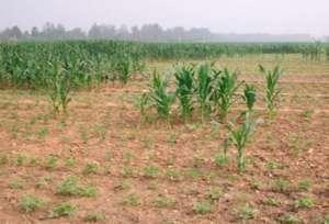 玉米补种方法和注意事项!