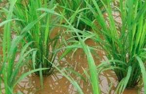 水稻分蘖期的管理要点!