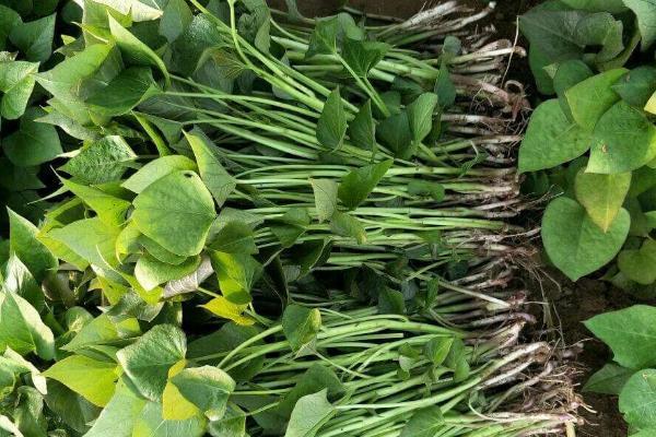 怎样育红薯苗出的快又多,附剪苗方法