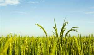 水稻亩产1365公斤:什么水稻品种产量这么高?种植前景怎么样?
