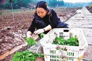 秋葵被誉为'绿色人参',亩收入上万元!