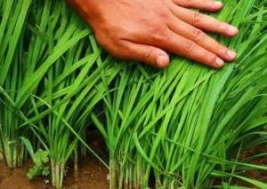 韭菜一种多收,一年6茬,亩产效益达1.5万元!