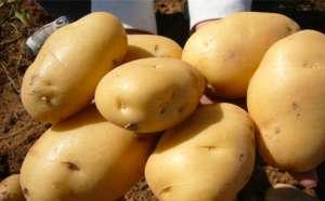 种植马铃薯结果少是哪些因素造成?