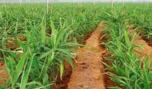 生姜种植的株距和行距是多少?