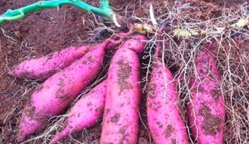 烤食型红薯怎么种?烤食型红薯种植管理技术!