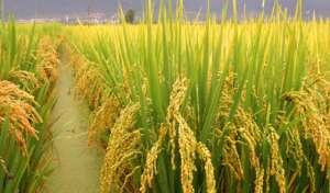 水稻叶片枯死原因有哪些?
