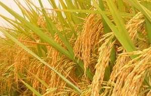 暴雨过后水稻生产管理要点