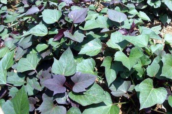 紫薯栽培技术要点,附管理注意事项