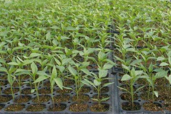 辣椒怎么种 种植夏季辣椒的注意事项