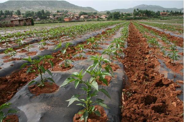 辣椒用什么肥料最好 如何让辣椒多坐果