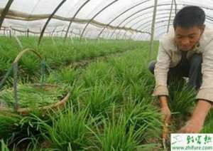 温室种植韭菜的早春管理
