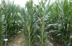 玉米穗期管理方法