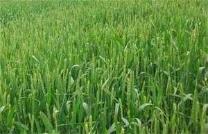 冬小麦旺长的原因?
