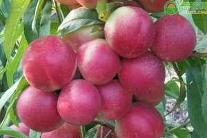 白肉油桃品种有哪些?