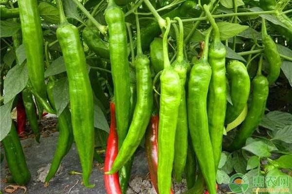 无限生长型辣椒品种有哪些?