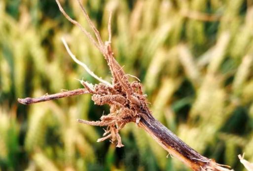 如何降低小麦感染黑脚病的几率?
