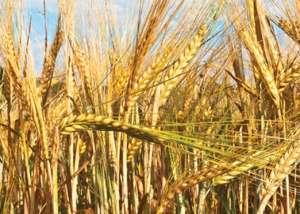 大麦播种时间和管理