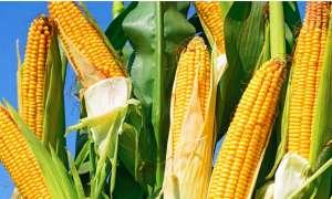 玉米高产种植技术