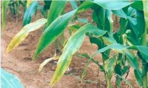 玉米缺肥症状与矫正技术