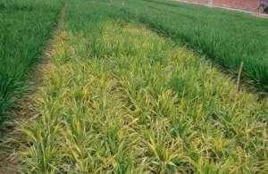 种小麦如何施磷肥?