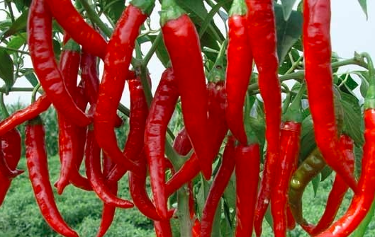 辣椒紫斑病的防控方法