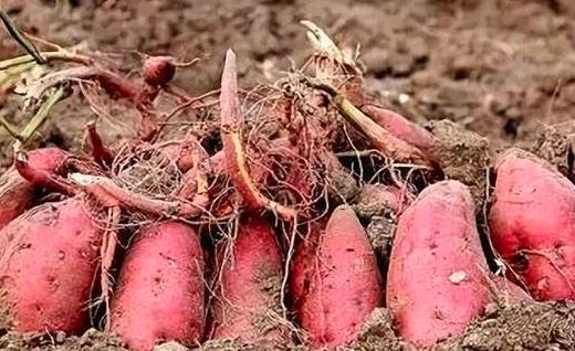 红薯被虫蛀怎么办?用什么药?