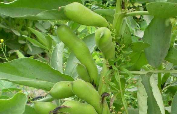 蚕豆病虫害防治技术