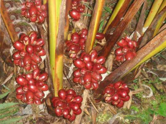 草果高产种植技术