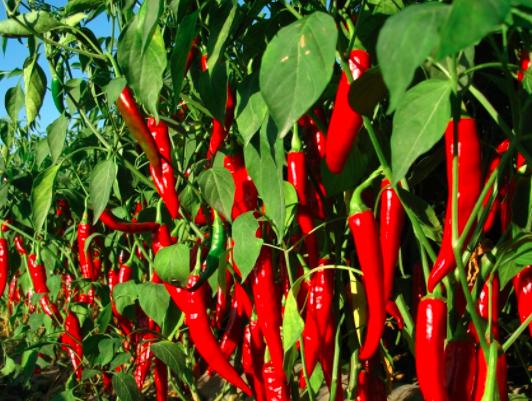 辣椒可以跟什么农作物混种?