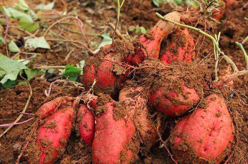 红薯的虫害都有哪些?应当怎样防治?
