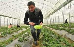 草莓冬季该怎么施肥?